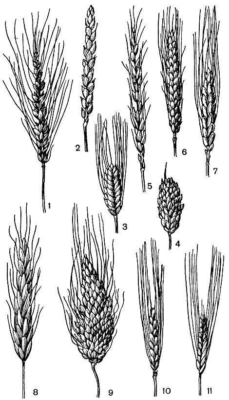 Рис. 1. Колосья разных видов пшениц: 1 - мягкой остистой, 2 - мягкой безостой, 3 - карликовой остистой, 4 - карликовой безостой, 5 - спельты, 6 - махи, 7 - твердой, 8 - польской, 9 - ветвистой, 10 - двузернянки, 11 - однозернянки