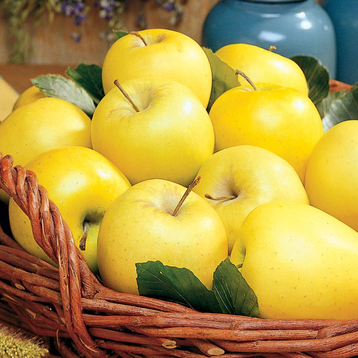 A Golden Delicious apple tree is a great tree for any home grower. It is cold hardy, heat-tolerant and very productive, with simple upkeep and ease of growing.
