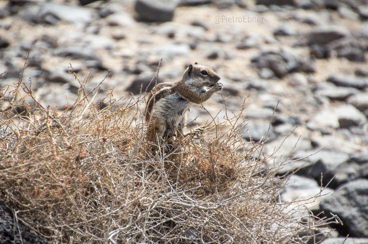 Barbary ground #squirrel #fuerteventura