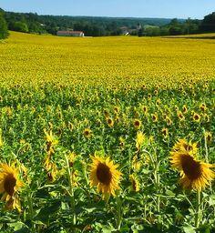 Wie wordt er niet blij van glooiende zonnebloemvelden? Er zijn er heel veel van in de Dordogne. http://www.canvasholidays.nl/campings/campings-in-frankrijk/dordogne