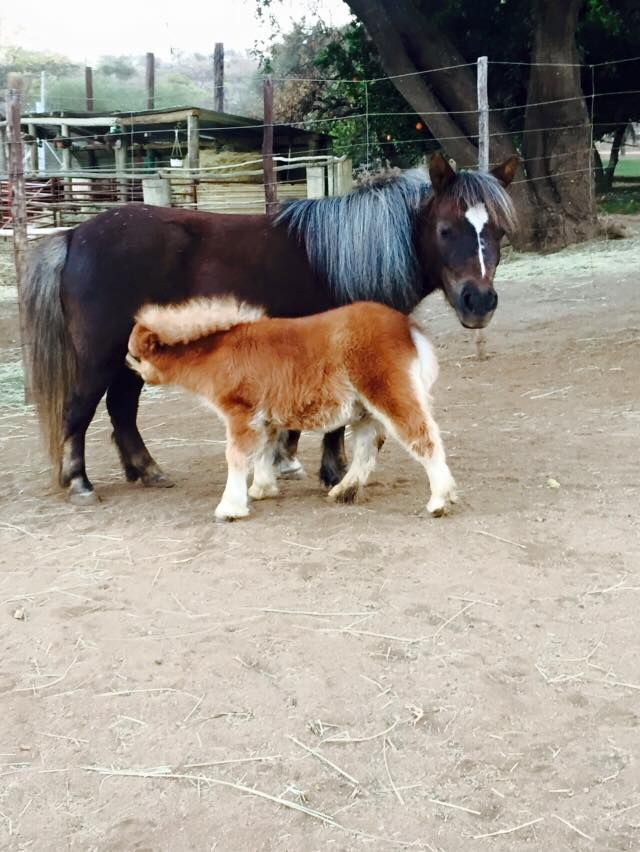Too tiny, mother and child mini horses