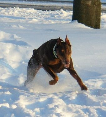 """Tia is a red Doberman female that is 8 years old. She is a 69-pound lap dog. Any chance to get close to people she is right there unless you are using power tools or the vacuum. She loves to play in the snow and chase squirrels."""