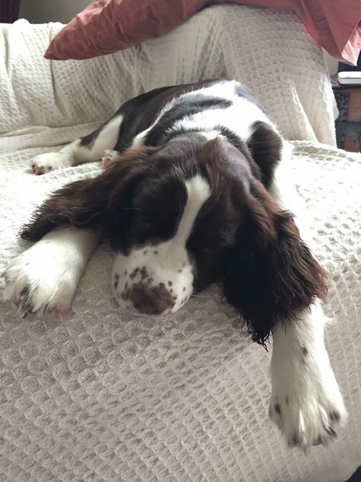 English Springer Spaniel ~ Classic Look