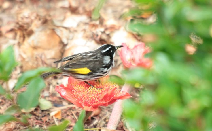 A little Honey Eater (I have always known these as Gold Finch but not sure if they are) sitting on a Blood Lily taken by me.
