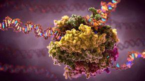 RNA-Polymerase transcription mRNA molecular animation gif