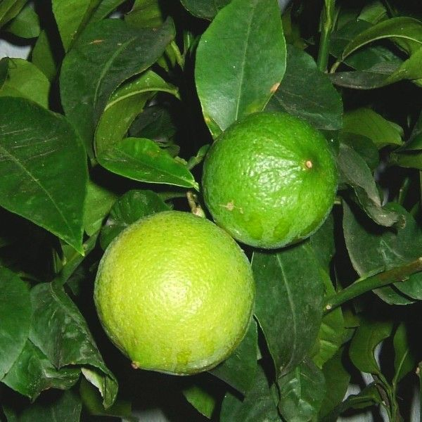 Citrus bergamia, the Bergamot orange is a fragrant fruit the size of an orange, with a yellow color similar to a lemon. Genetic research into the ancestral origins of extant citrus cultivars found bergamot orange to be a likely hybrid of Citrus limetta and Citrus aurantium. An essence extracted from the aromatic skin of this sour fruit is used to flavourEarl Grey and Lady Grey teas, and confectionery including Turkish delight. It is often used to make marmalade, particularly in Italy. In…
