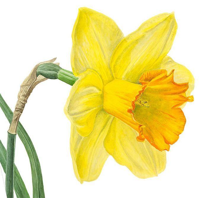 Нарцисс картинки нарисованные, дизайнерская своими
