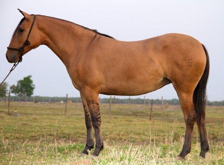 LEILÃO EVOLUÇÃO DA RAÇA - cavalo pantaneiro. Mare Aliança da Rancharia.