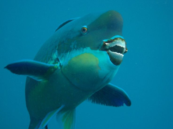 "So, you thought the fictional people-eating great white shark in the film ""Jaws"" had a powerful bite. But don't overlook the mighty mouth of the parrotfish – its hardy teeth allow it to chomp on coral all day long, ultimately chewing and grinding it up through digestion into fine sand. That's rig..."