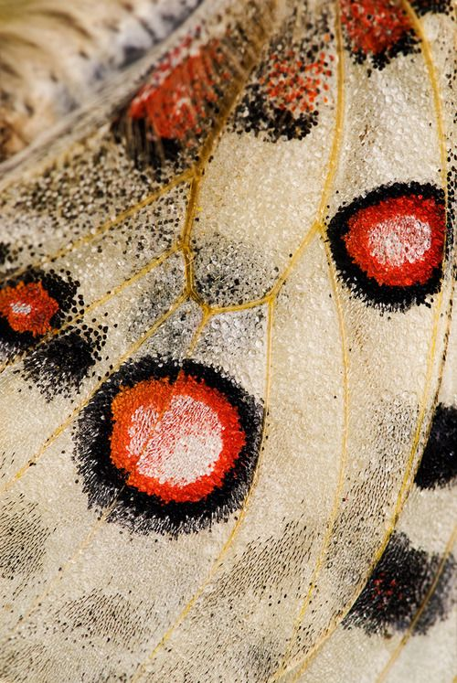 veuvenoir:  Butterfly wing Photographer Martin Amm