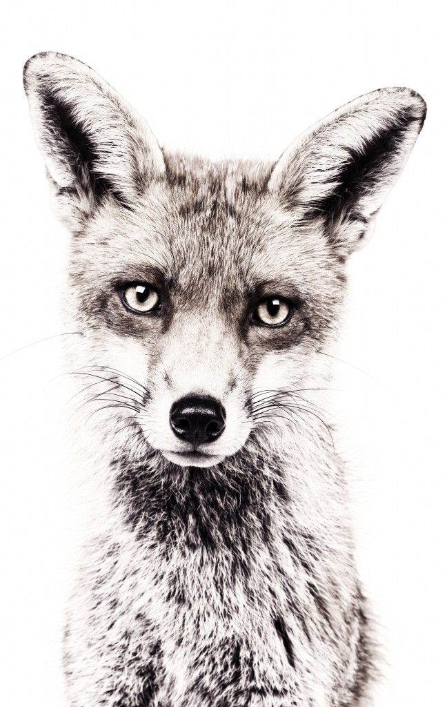 One of the 4 New Printed Magnetic Animal Wallpapers Just Added To Our Range! #wallpaper #fox #decor