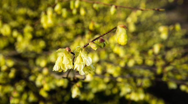 Pflanze des Monats: Niedrige Scheinhasel