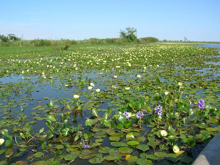 <span>Plantas acuáticas en los esteros del Iberá. </span></p>