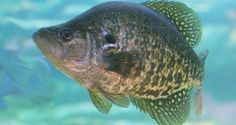 Winter Crappie Fishing Tips to Catch Your Limit                                                                                                                                                                                 More