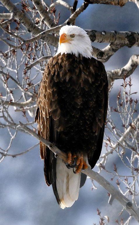 Wild Nature - American Bald Eagle in Aspen Colorado. - by Larry Bennett