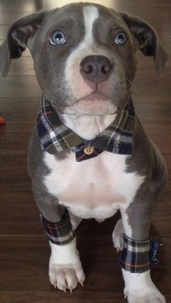 This pit bull puppy has flannel accessories. He wins all the things.
