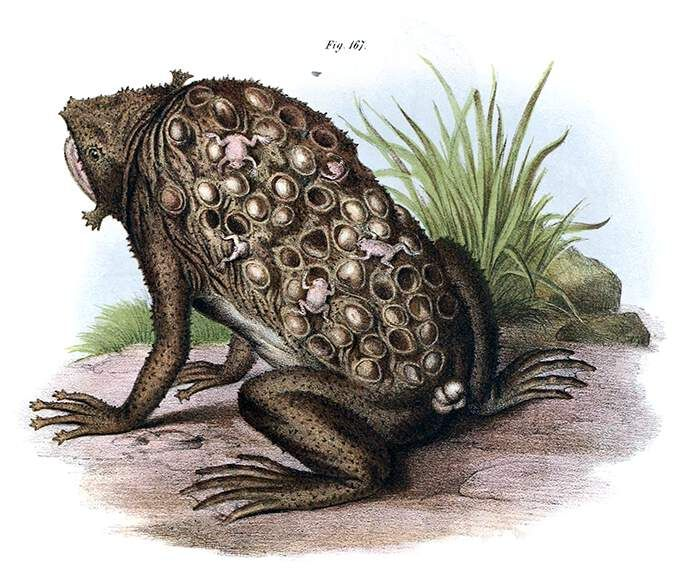 Suriname Toad With Eggs Embedded In The Skin Of The Back And