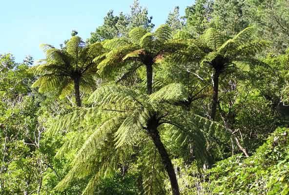 Fabulous tree ferns in New Zealand.