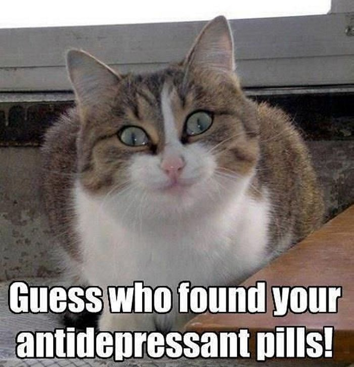 30+ Funny Cat Memes That Never Fail to Make Us LOL - Lovely Animals World