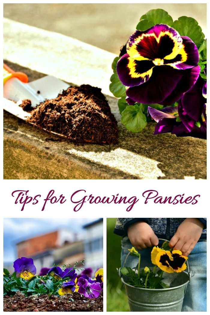 Growing Pansies How To Grow And Care For Pansy Flowers Pansies