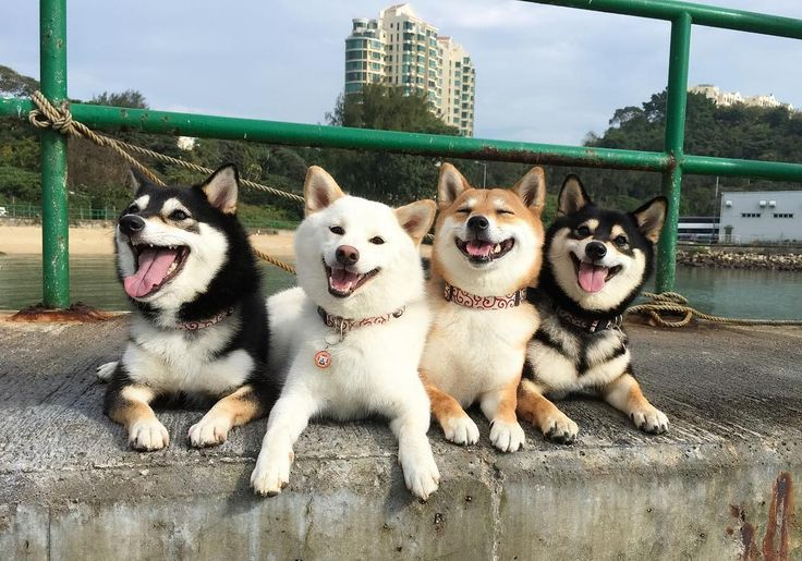 family, dog, shiba inu, fun. onlyleash.com