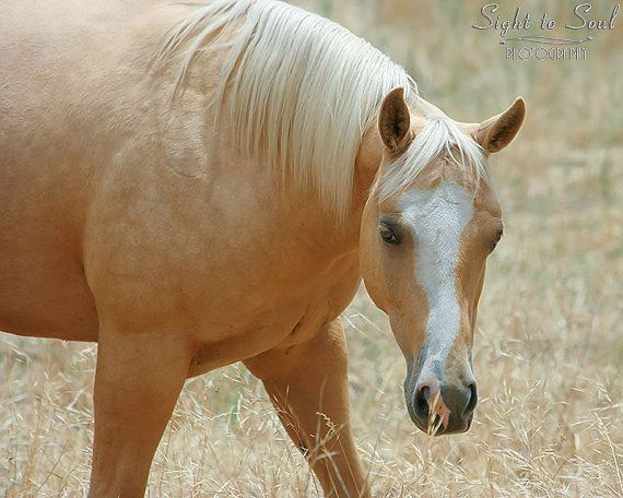 Photo of a palomino Quarter Horse mare in a field of golden oats, rustic western decor, 5x7, 8x10 or 11x14 fine art print, animal photography. This print is available in either full color or sepia tones.  Photo title: Golden Girl Photographer: Erica Lea  We met this beauty in a pasture of mares and mule babies. They were such a unique site; beautiful Quarter Horses and adorable mule foals with their big ears:-) I thought this Palomino mare was especially gorgeous with the way she's…