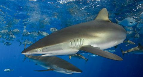 Silky Sharks- These sharks either live alone or in large groups