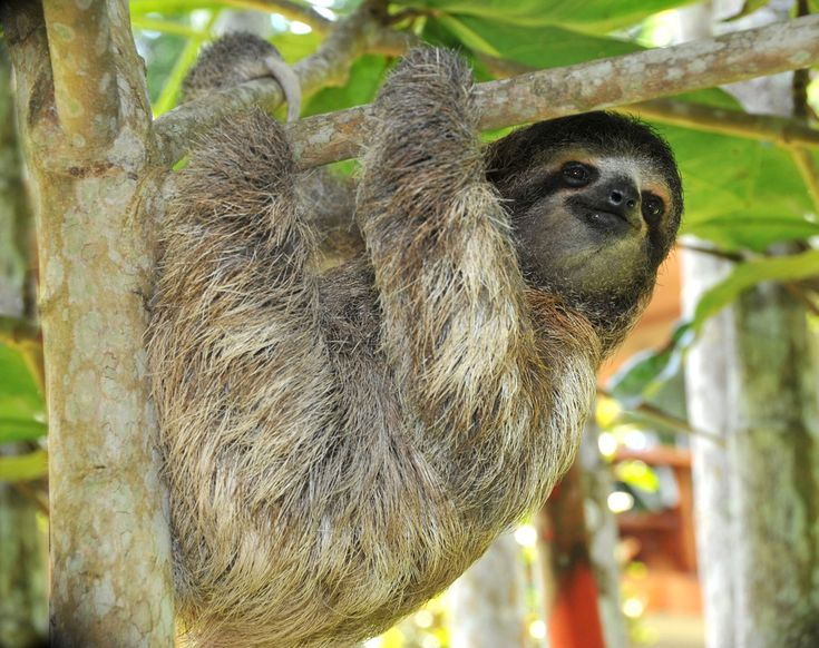 Sloths spend most of their lives hanging upside down from a tree branch in the canopy, not moving. These creatures are so sedentary algae grows on their ...