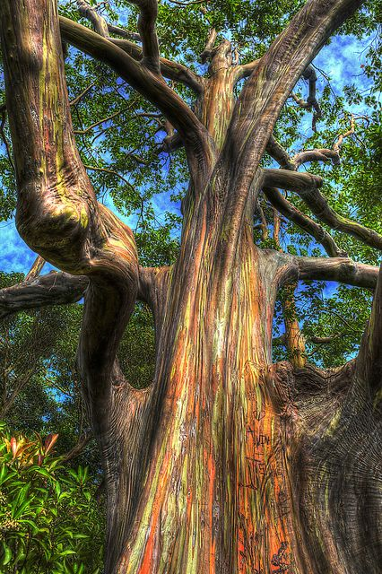 Rainbow eucalyptus tree | Flickr - Photo Sharing!