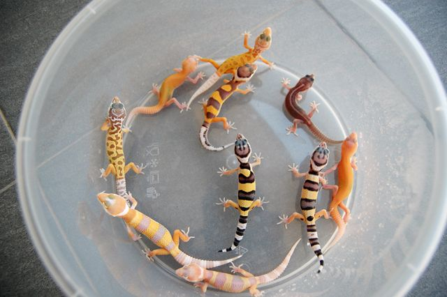different morphs leopard gecko