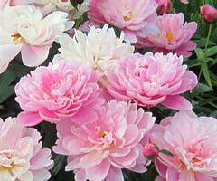 Peony planting guide • (I have been trying to grow a peony plant for 2 years, so far, it's 6 inches tall and definitely no where near flowering! haha!)