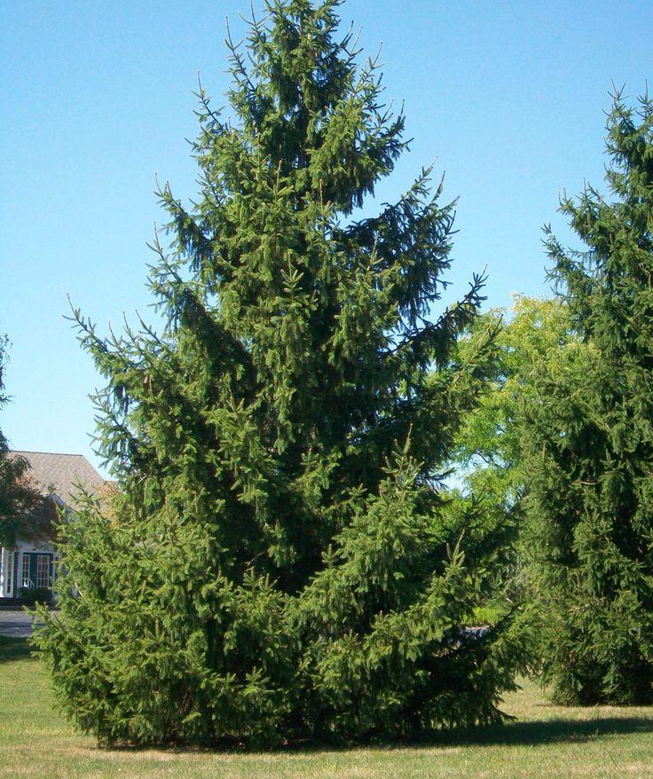 Small Ornamental Trees For Kansas: Best 25+ Norway Spruce Ideas On Pinterest