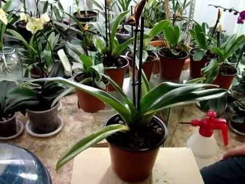 Как поливать орхидеи. Как я поливаю орхидею. Личный опыт.  Фаленопсис, В...