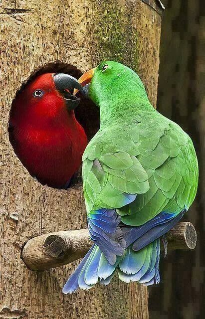 The eclectus parrot is the most sexually dimorphic of all the parrot species. The contrast between the brilliant emerald green plumage of the male and the deep red/purple plumage of the female is so marked that the two birds were, until the early 20th century, considered to be different species.