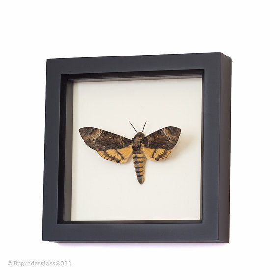 Real Death Head Moth Silence of the Lambs by BugUnderGlass on Etsy, $59.99