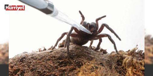 Örümcek zehriyle felç tedavisi: AVUSTRALYA'da araştırmacılar örümcek zehrinin felç sonrası beyin hasarını tedavi edebileceğini ileri sürdü.