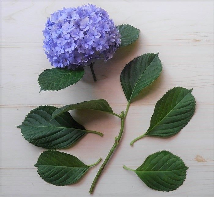 やってみた 紫陽花 アジサイ の増やし方 切り戻し剪定と挿し木の適期と生長 挿し木 アジサイ 植物栽培