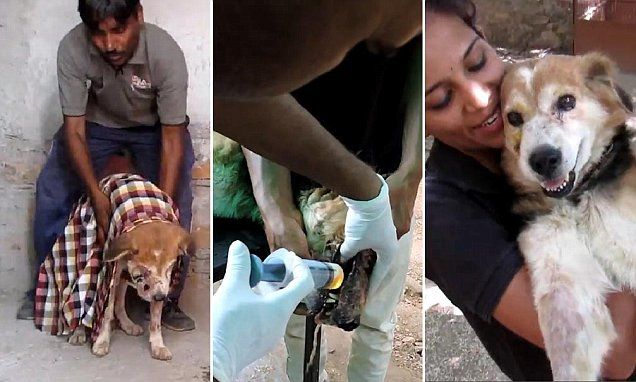Remarkable recovery of dying dog ravaged by flesh-eating maggots