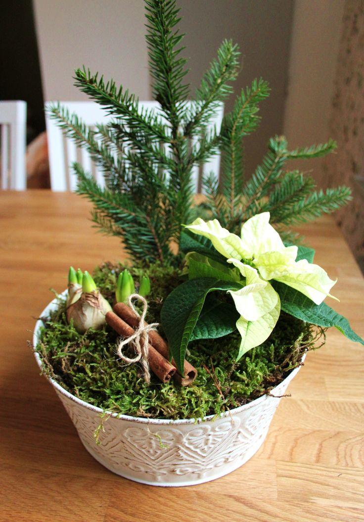 Julgrupp med hyacinter och julstjärna. Christmas flowers.