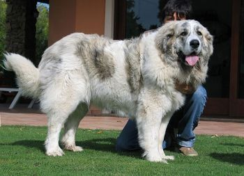 Pyrenean Mastiff... These dogs grow to be even bigger than the Great Pyrenees!