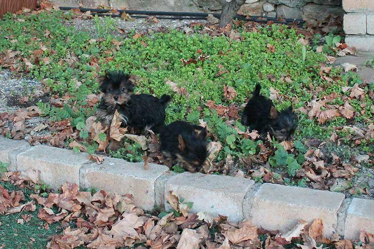 EN VENTA: camada de perritos de raza Yorkshire terrier de tres meses de edad propiedad de LaNeblina