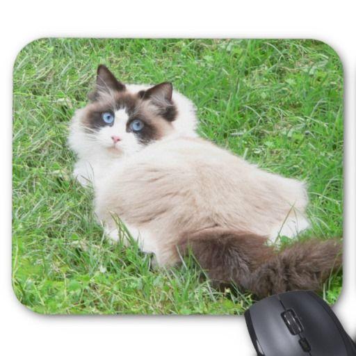 Ragdolls Seal Bi Color Cat