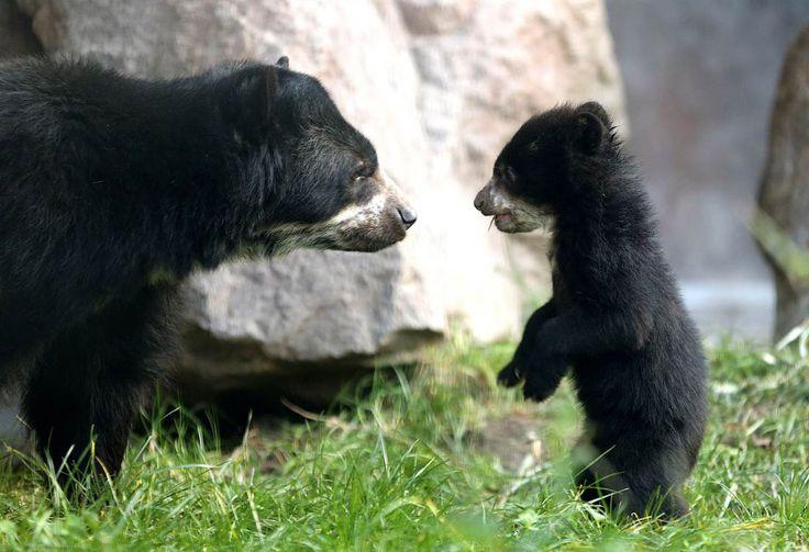5-месячный медвежонок в зоопарке в Дуйсбурге, Германия