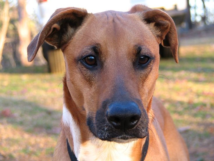 Boxer Doberman Mix | Dog Breeds Picture