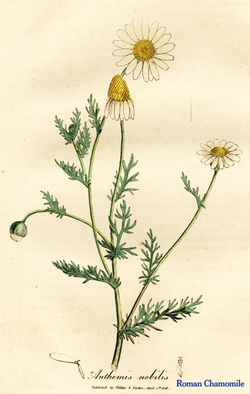 """Chamomile. From Ed Smith's personal library: Stephenson & Churchill, """"Medical Botany"""": 1834-1836."""