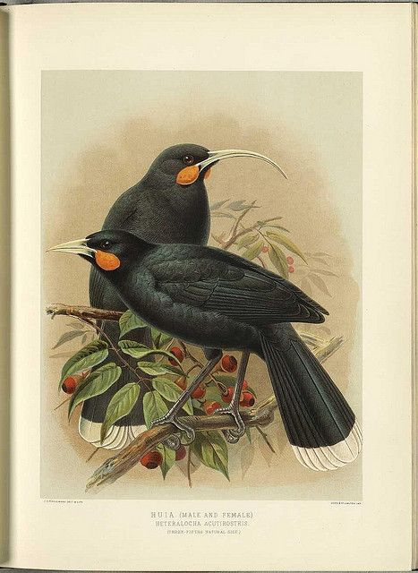 Birds: The taste of Petrol and Porcelain | Interior design, Vintage Sets and Unique Pieces www.petrolandporcelain.com Naturalist Zoology New Zealand Huia  From BibliOdyssey