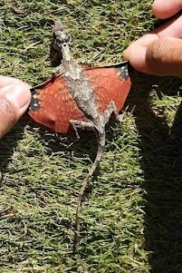 Dragon for real, flying lizard specie found in Indonesia via Louis Bauer