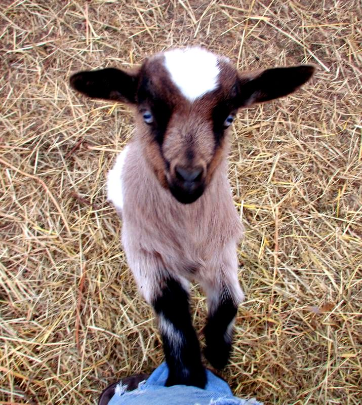 Find out why Fainting goats are the best backyard goat! Fainting goats are for sale in Arkansas and Missouri