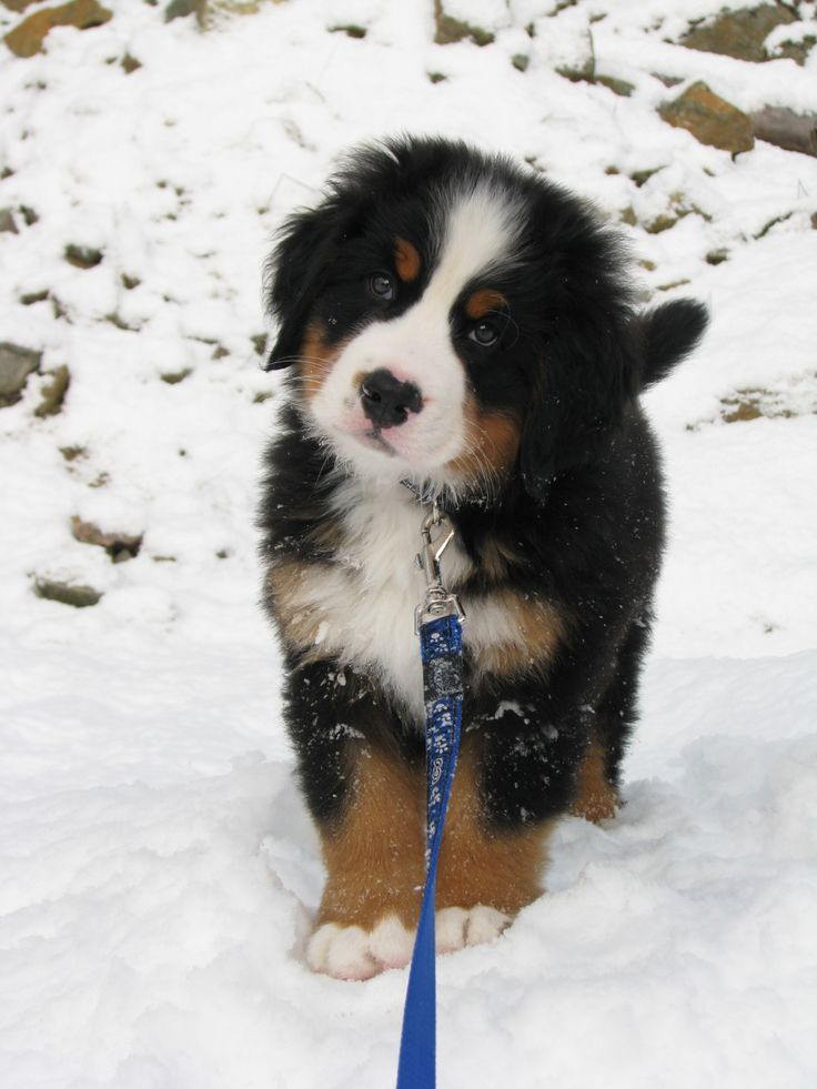 Download Bernese Mountain Dog Chubby Adorable Dog - 6d1f8aaa7d8c118683e3915671534ccf--adorable-puppies-beagle-pups  Best Photo Reference_551695  .jpg