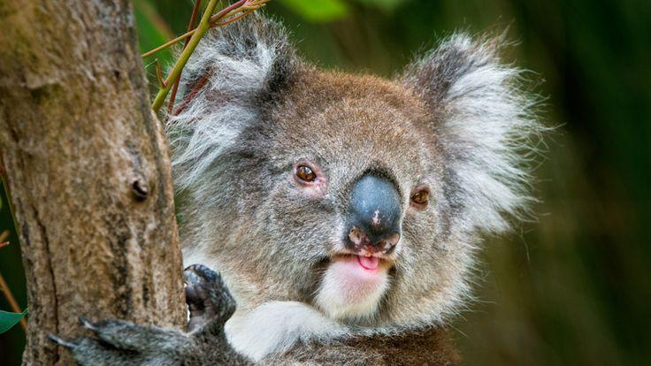 Brisbane Water National Park - it wouldn't be Australia without a koala!